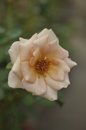 rose20131015-3.jpg
