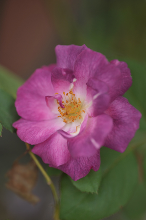 rose20131015-4.jpg