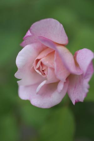 rose20131015-6.jpg