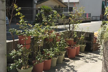 roses2013905-1.jpg