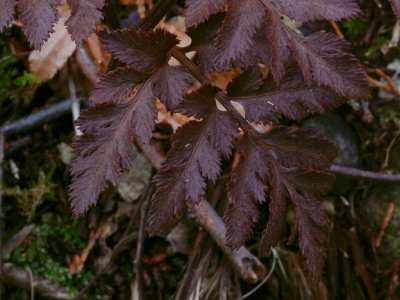 アカハナワラビの葉