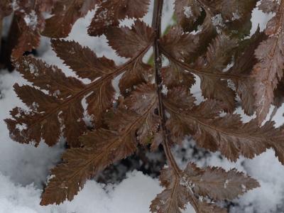 アカネハナワラビの葉