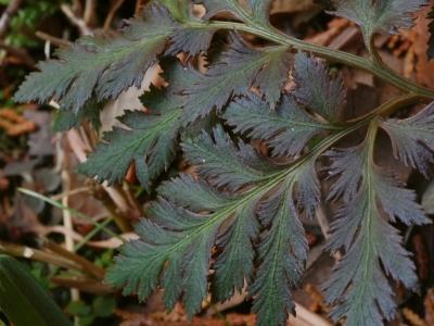 フユノハナワラビの葉のバリエーション