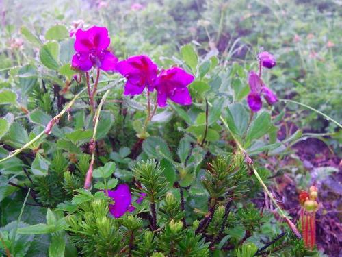 花エゾツツジ064