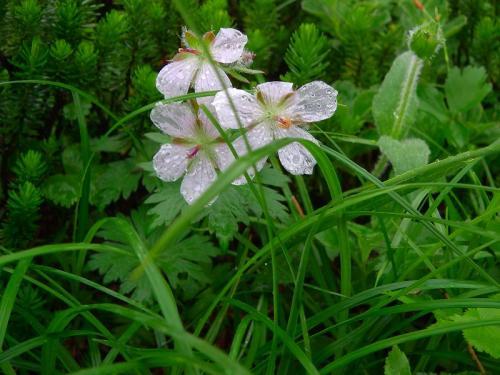 花チシマフウロ・アルビノ種068