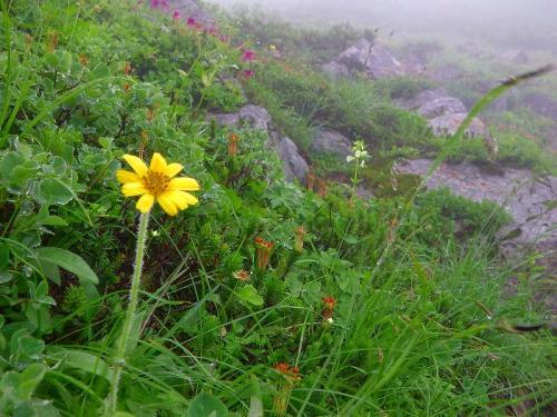 花エゾウサギギク070