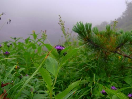 花ナガバキタアザミ113