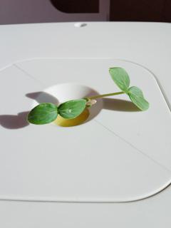 キュウリの葉