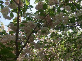 某所の桜1
