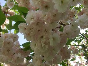 某所の桜2