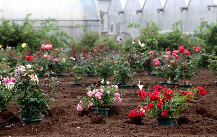 バラ農園(2)