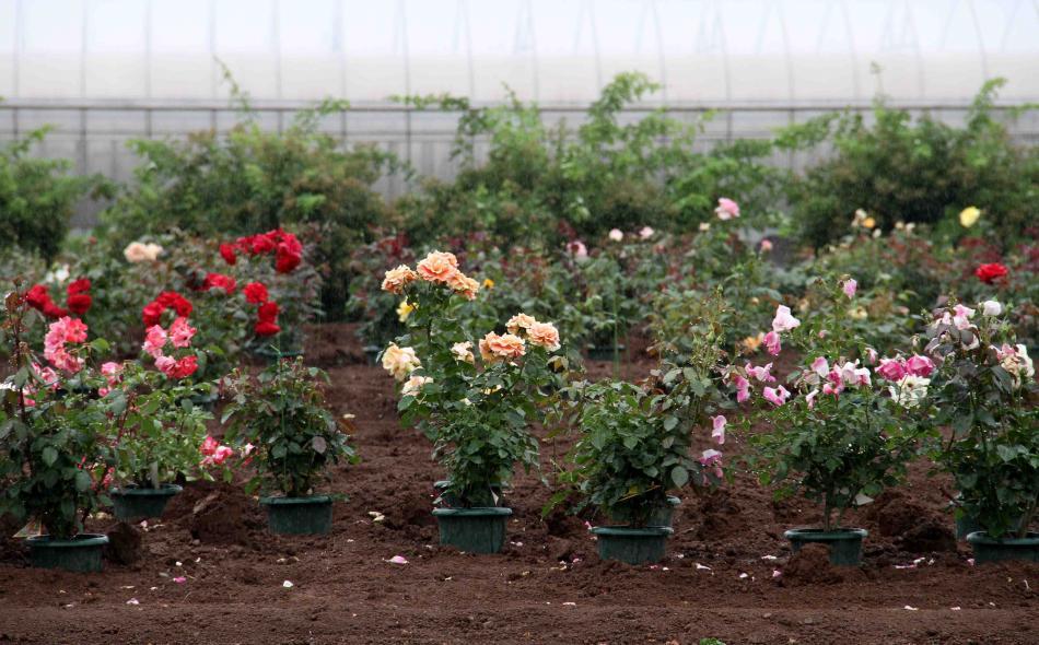 バラ農園(3)