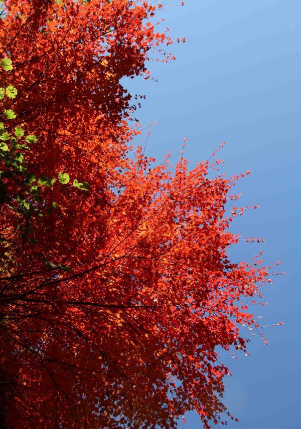 赤の造形 紅葉三昧(3)
