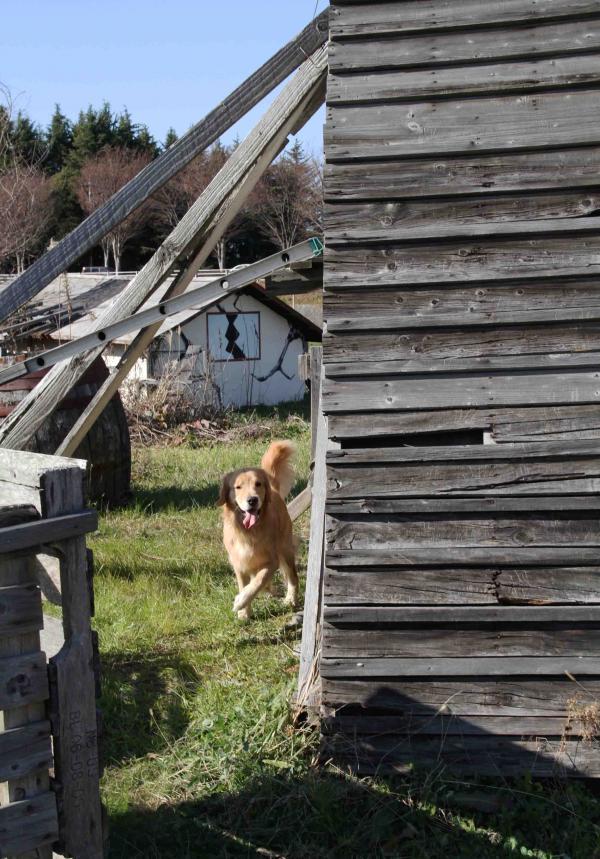 捜索犬の訓練 ヒット 20121216(10)