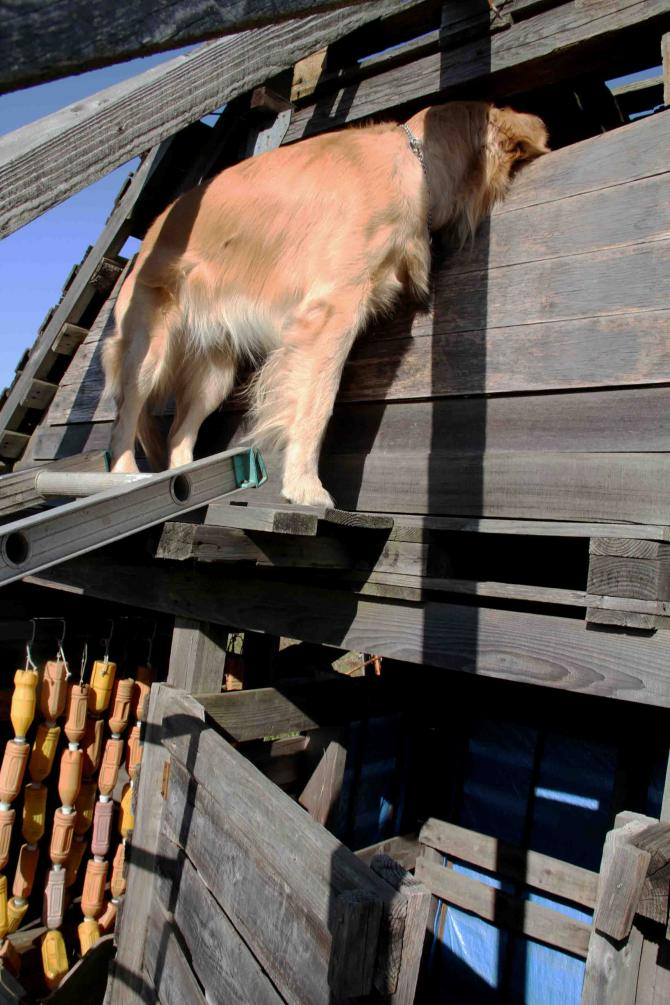 捜索犬の訓練 ヒット 20121216(17)