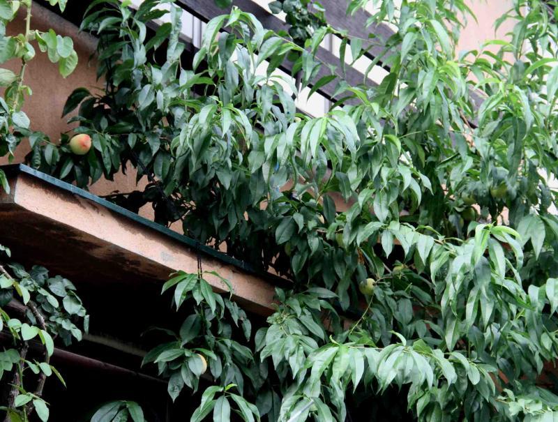 桃の様子(1) 0625
