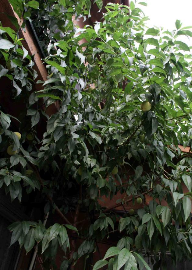 桃の様子(2) 0625