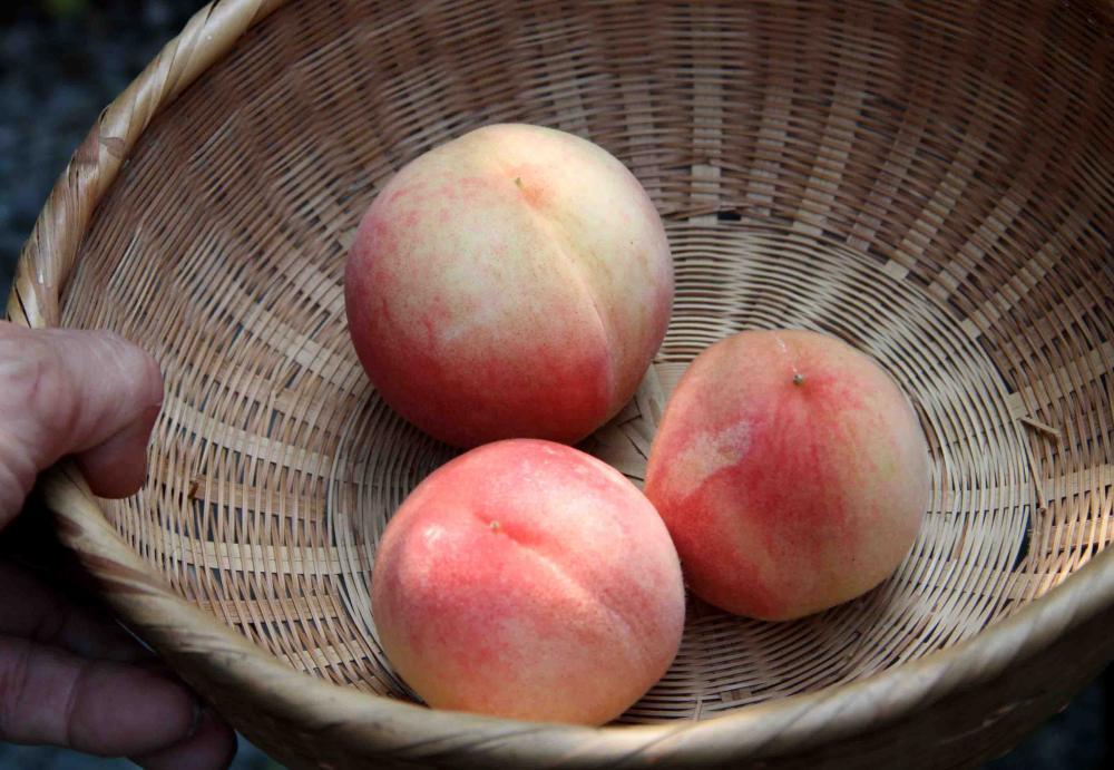 桃4の収穫 0712