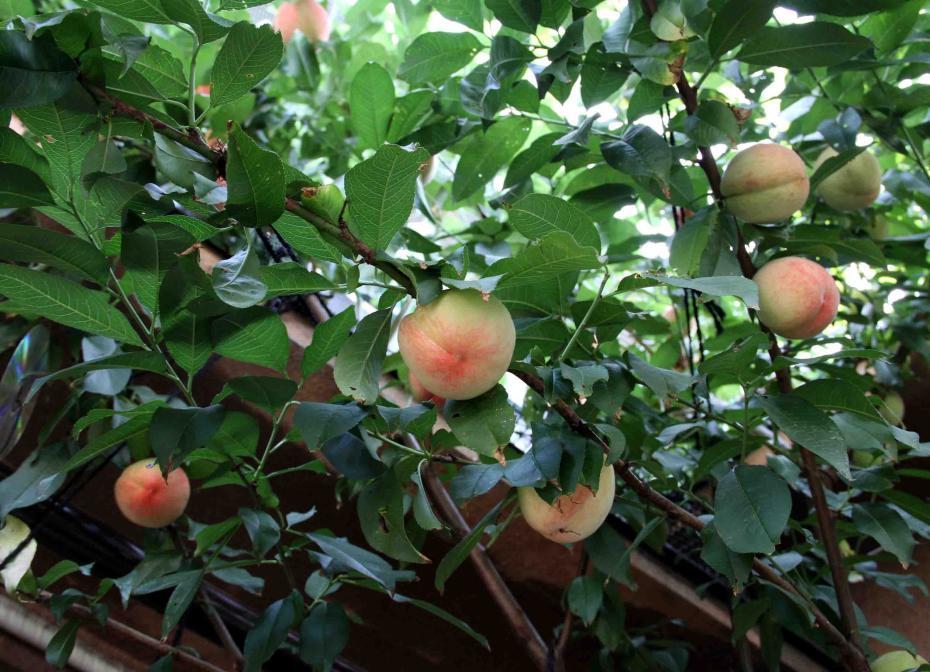 桃4の収穫(2)