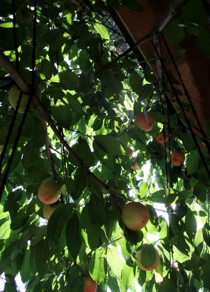桃4の収穫(3)