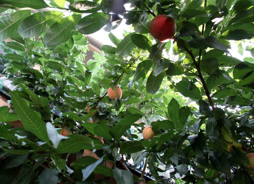 桃4の収穫(4)