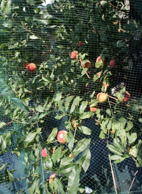 桃4の収穫(5)