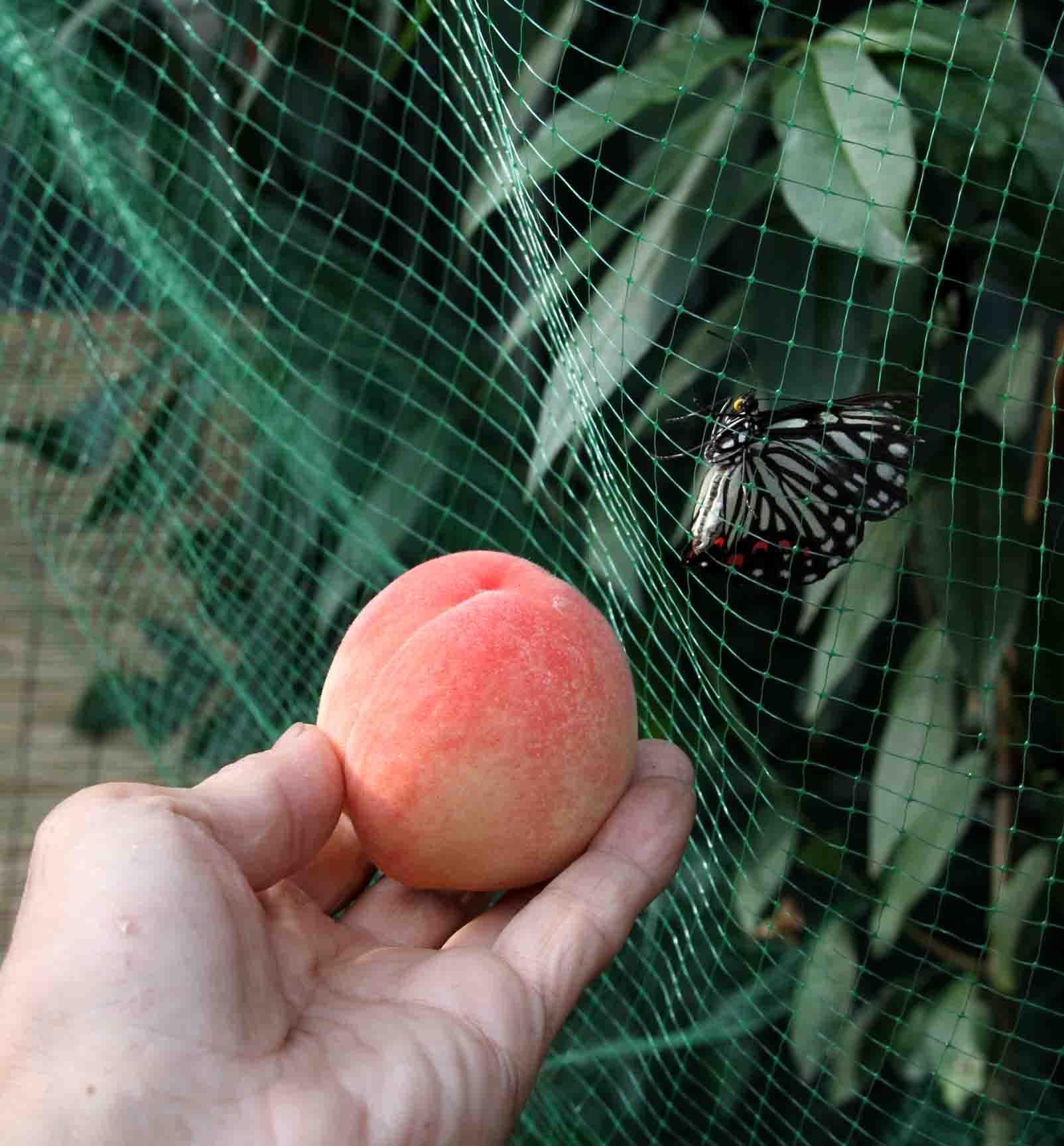 桃と蝶 (1)