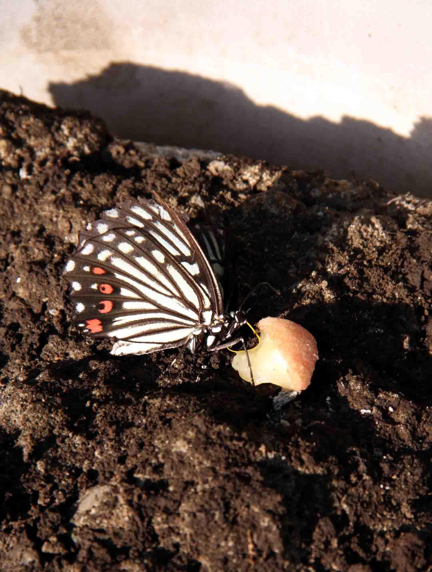 桃と蝶 (2)