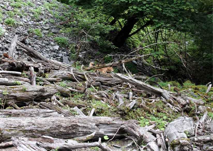 三峰川 7月14日 渓流周辺の捜索(14)
