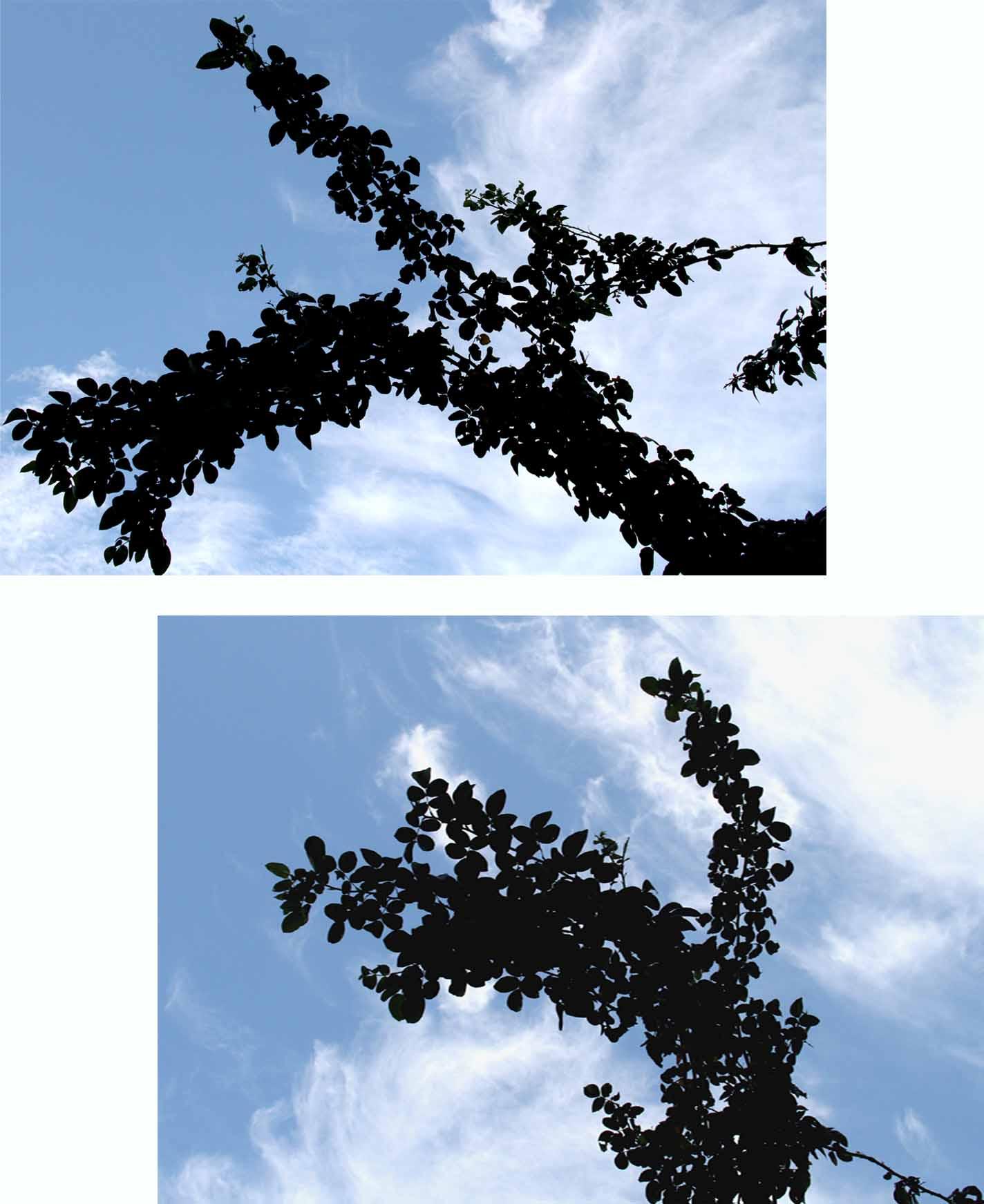 バラのシュートと秋の空 (4)