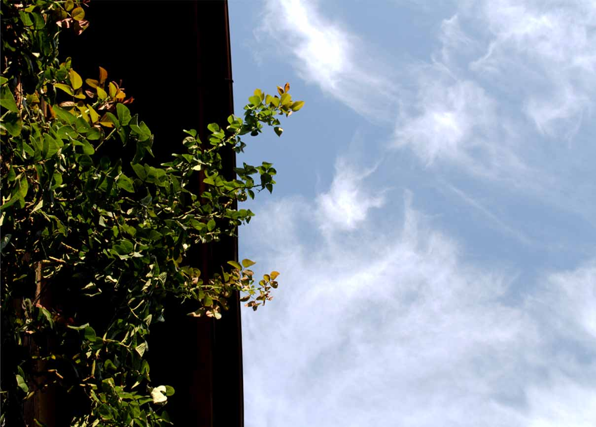 バラのシュートと秋の空 (5)