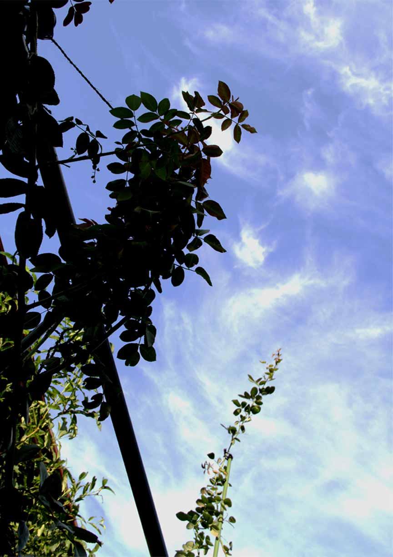 バラのシュートと秋の空 (6)