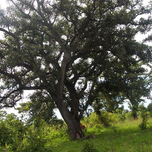 シアの木陰