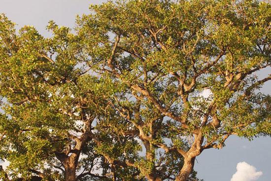 シアの木(ソロティ)