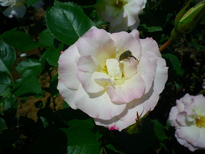 大輪の薔薇と虫