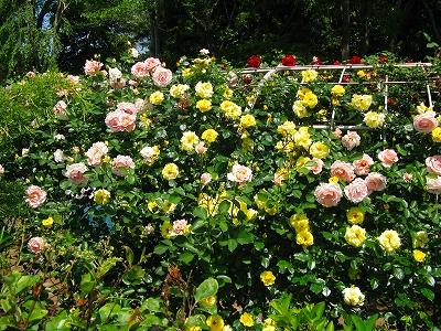 薔薇のアーチ外から