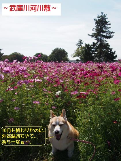 武庫川コスモスあっつ~