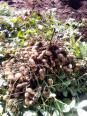 落花生の収穫ー3