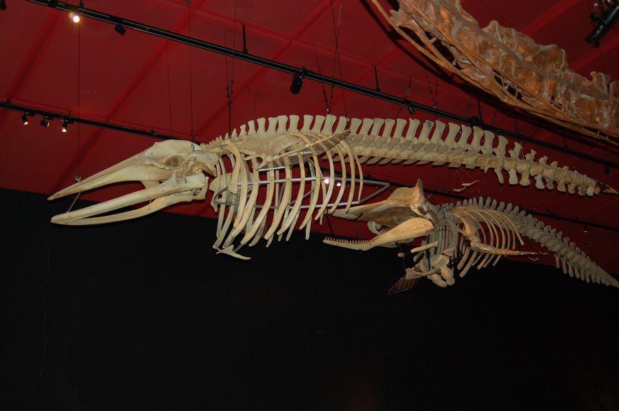 マッコウクジラの全身骨格