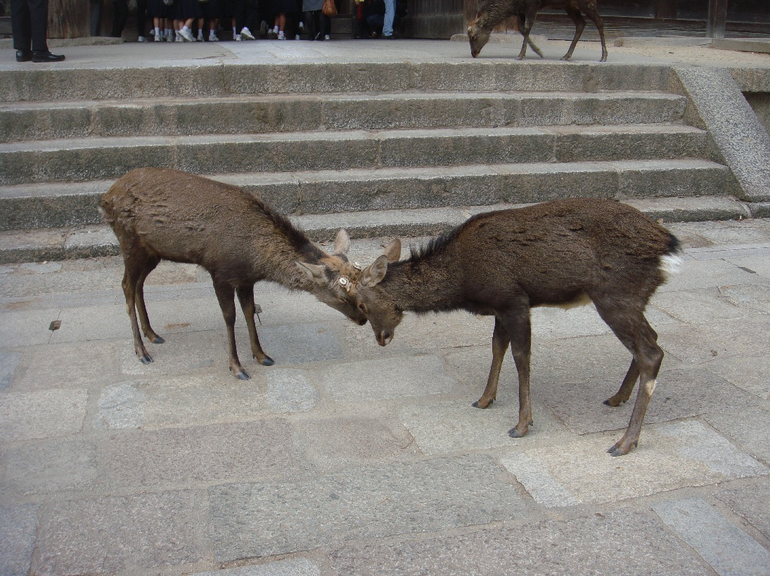 鹿!鹿!鹿が食ってかかるゥ!