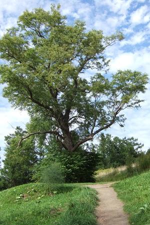 大きな木の