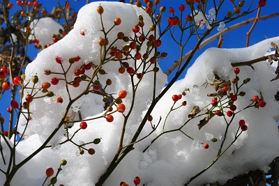 雪とローズヒップ
