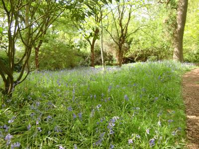 richmondparkbluebell13