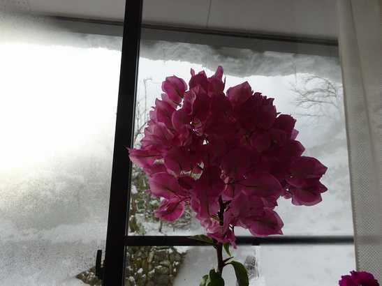 20141218 雪の中のブーゲンビリア