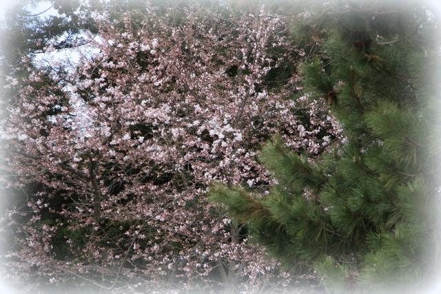 今日の弘前公園 桜 2012年