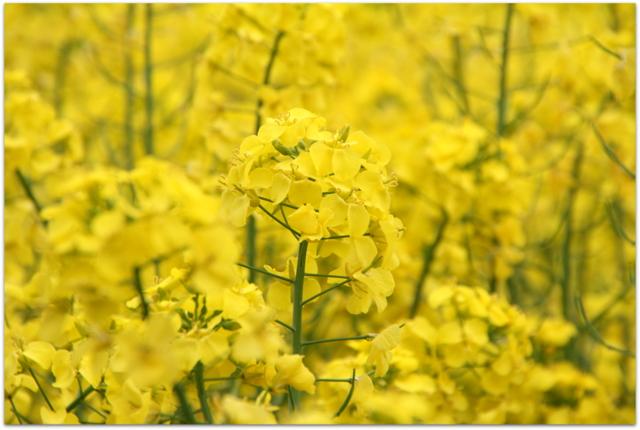 鰺ヶ沢町 菜の花畑