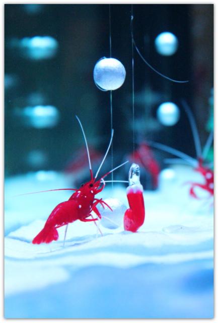 青森 浅虫水族館 クリスマス水槽特別展示 水の中からメリークリスマス サンタエビ シロボシアカモエビ