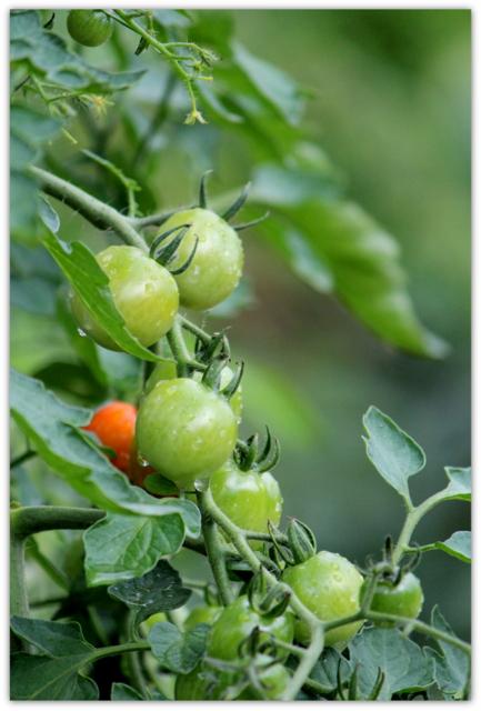 トマト とまと 野菜 写真
