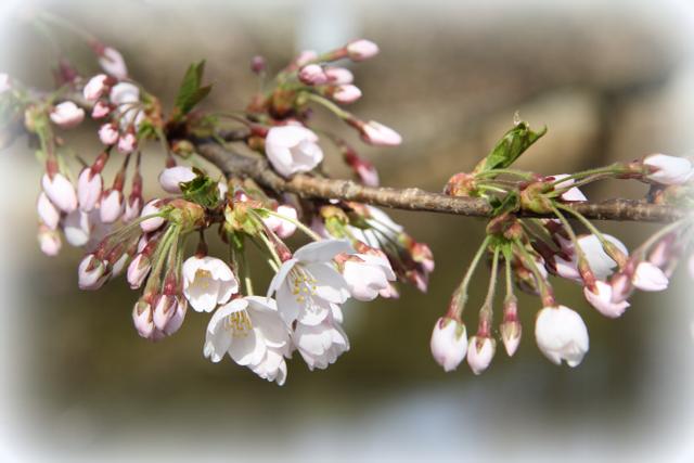 弘前公園 2012年 桜