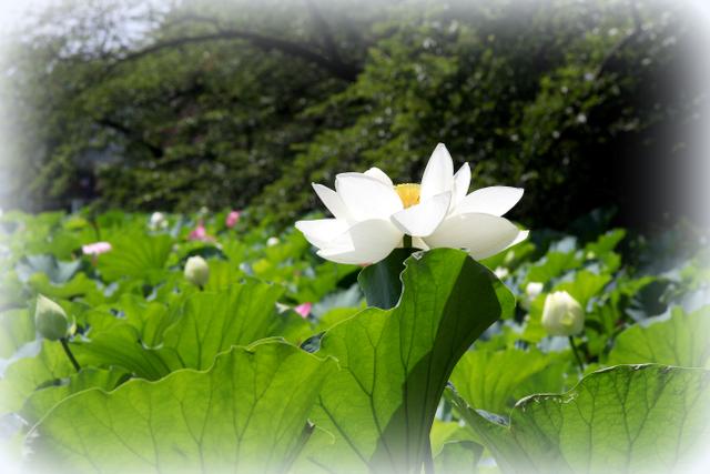 弘前 革秀寺 蓮の花